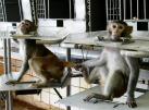 Macacos ficam restritos em cadeiras de contenção