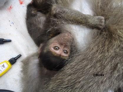 buav-quenia-babuinos