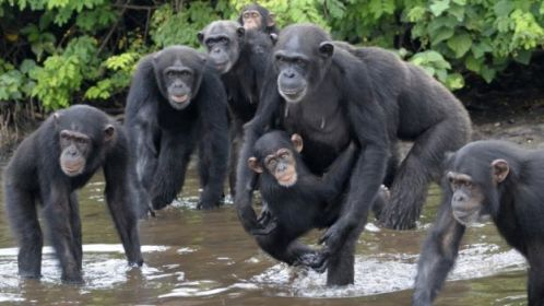 Chimpanzés Abandonados