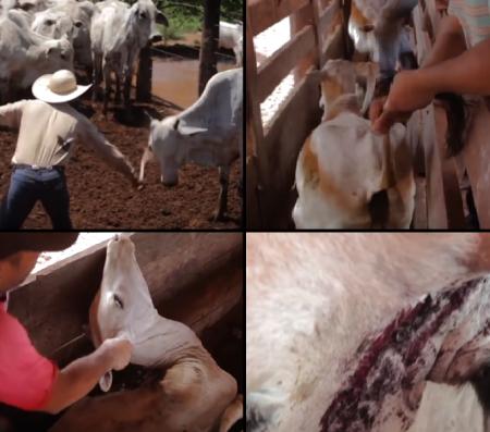 Fazendeiros da JBS espancam animais. (Imagem: Reprodução)