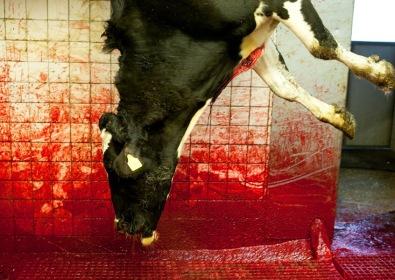 Vaca sendo abatida em matadouro dinamarquês. Katie Currid/2011.