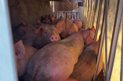 Dos 180 porcos, 138 sobreviveram, mas foram abatidos logo após a queda. (Dave Ritchie / CBC)