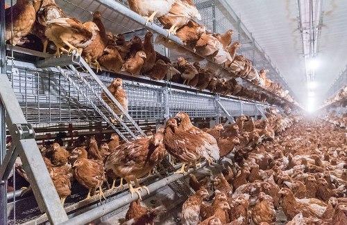"""Galinhas criadas """"livres de gaiola"""" vivem amontoadas em galpões fechados. Foto: Big Dutchman"""