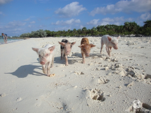 ilha-dos-porcos-nadadores-porquinhos