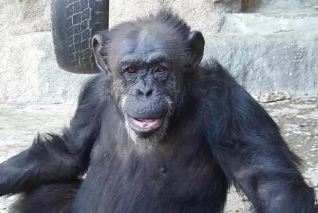 cecilia chimpanze