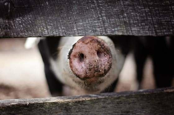 focinho porco