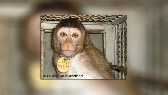 macaco transporte laboratorio cruelty free international