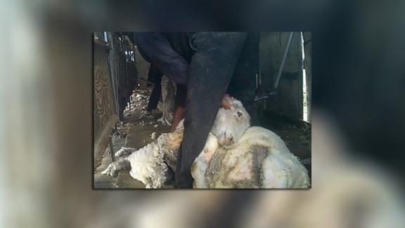 ovelhas gravidas industria da la