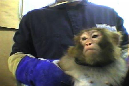 vivisseccao macaco