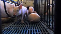 (Imagem: Reprodução/Mercy For Animals Brasil)