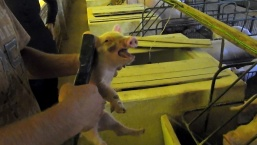 Orelhas dos porquinhos são marcadas (Imagem: Reprodução/Mercy For Animals Brasil)