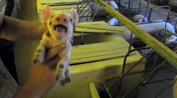 Porquinhos são torturados em fazenda da Aurora Alimentos (Imagem: Reprodução/Mercy For Animals Brasil)