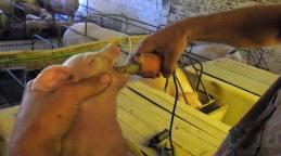 Porquinhos têm os dentes desgastados em fazenda da Aurora (Imagem: Reprodução/Mercy For Animals Brasil)