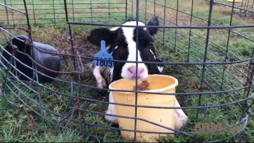larson industria do leite crueldade 02