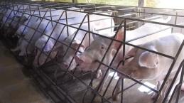 Porcas vivem estressadas em celas de gestação (Imagem: Reprodução/Mercy For Animals Brasil)